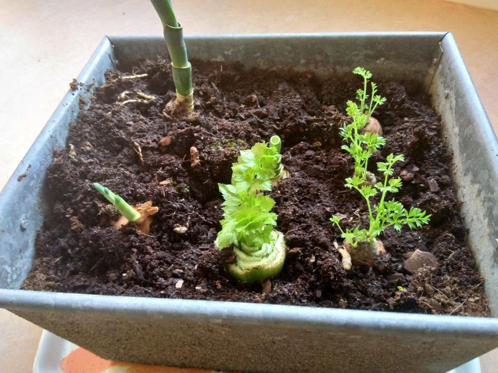 En bak aarde met hierin een ui, stompje prei, bleekselderij en wortel.